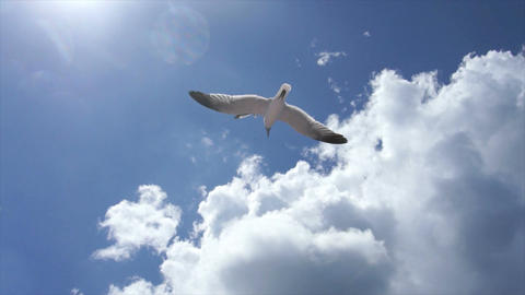 flying gull Footage