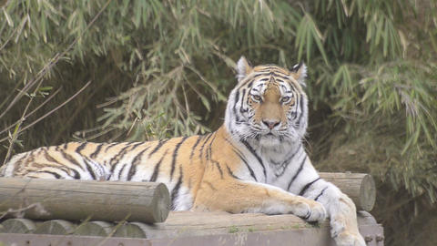 Tiger in Tama Zoo,Tokyo,Japan Footage
