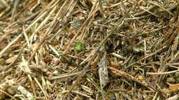 Ants carrying a dead mosquito 1 Footage