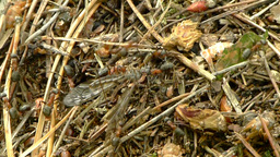 Ants carrying a dead mosquito 2 Footage