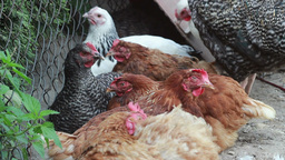 Resting Chickens stock footage