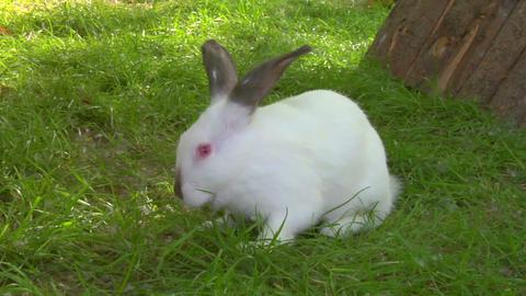 white rabbit 02 Footage