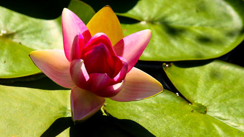 Timelapse of a water lily while opening Filmmaterial