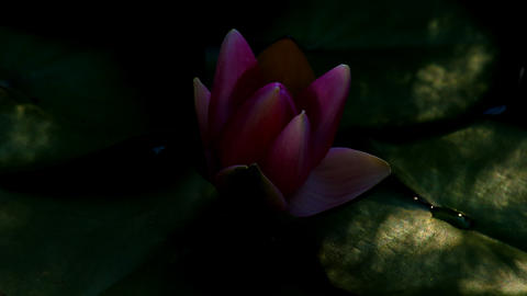 Timelapse of a water lily while opening Stock Filmmaterial