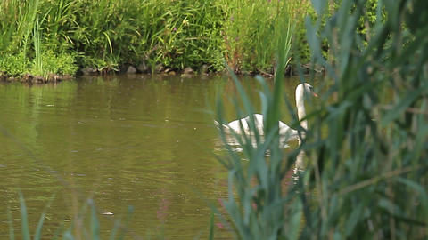 Swan in a pond (Animals) Footage