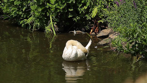 Swan in a pond (Animals) Live-Action