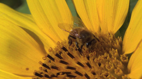 Honey bee working on the sunflower Footage