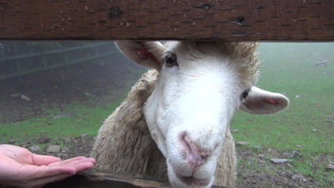 hand holding food and feeding the sheep Footage