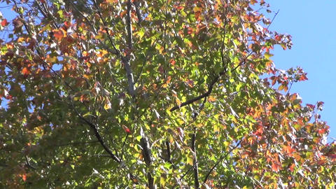 Autumn maple leaves swaying in the wind Footage