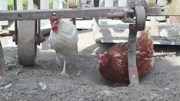 Chickens In The Farm stock footage