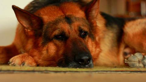 Dog Sleeps Footage