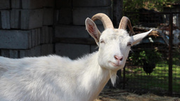 Goat - Close Up stock footage
