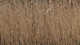 Reed on lake Footage