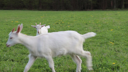 Goats on a meadow Footage