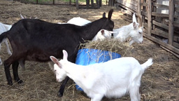 Goats At The Farm 10 stock footage