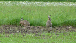 Two wild, european hares are grazing in the meadow Footage