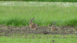 Two wild, european hares are grazing in the meadow Stock Video Footage
