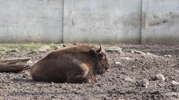 European Bison (Bison Bonasus), Wisent 1 stock footage
