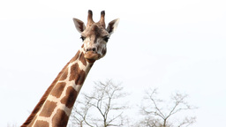 Giraffe Close Up stock footage