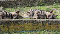 Striped Hyenas stock footage