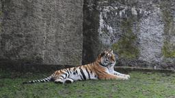 Tiger Live Action
