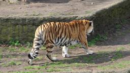 Tiger walking 3 Footage