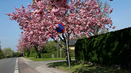Cherry Blossoms along the road Footage