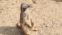 Meerkat. Suricate. Suricata suricatta. 3 Footage