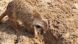 Meerkats searching for food. Suricata suricatta Footage