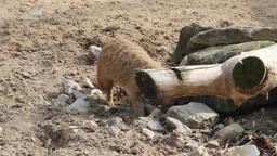 Meerkat searching for food. Suricata suricatta Footage