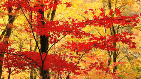 Autumn Red Maple Leaves stock footage