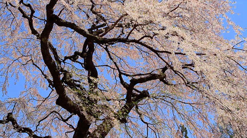 Blossoming cherry tree against the blue sky Footage