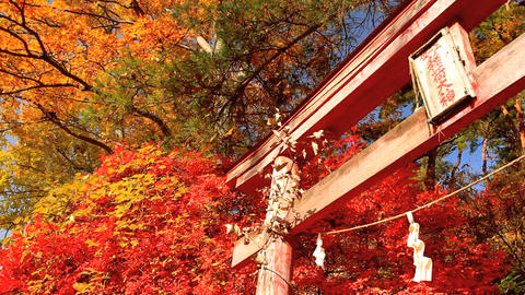 Torii on the background of autumn leaves Footage