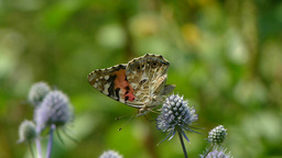 Butterfly. Painted Lady. Vanessa cardui. 1 Live Action