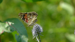 Butterfly. Painted Lady. Vanessa cardui. 3 Live Action