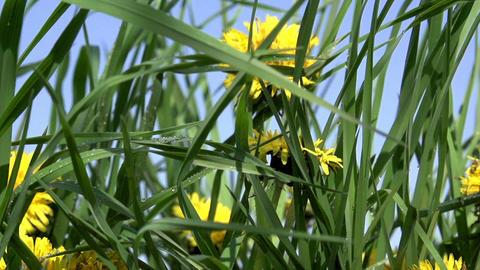 Dandelion Meadow Footage
