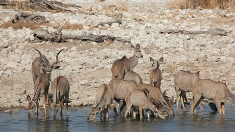 Kudu antelopes at waterhole Footage