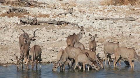 Kudu antelopes at waterhole Footage