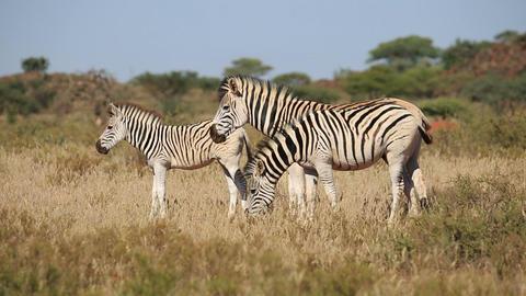 Plains Zebras grazing Footage
