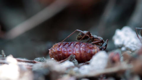 Ants, Extreme Macro, Cooperation stock footage