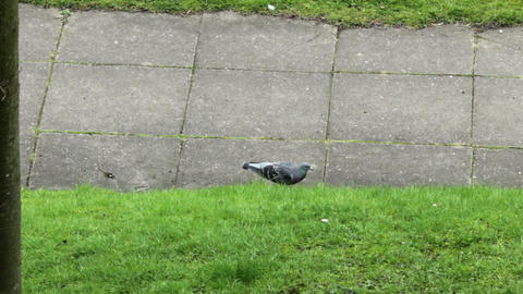 Pigeons looking for food on an urban lawn 2 Live Action