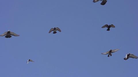 Birds in Flight Footage