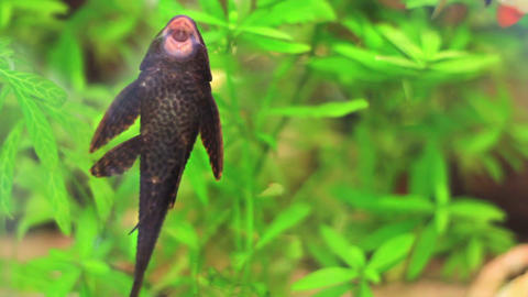 Aquarium fish plecostomus cleans the tank by eatin Footage