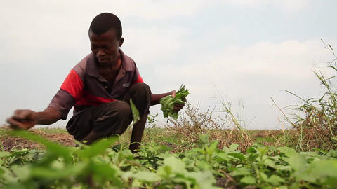 Harvesting greens low Footage