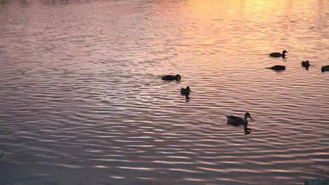 Lake and ducks sunset Footage
