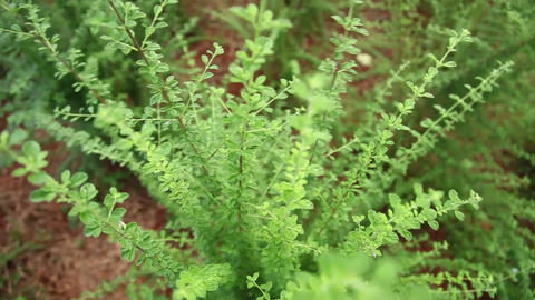 Oregano From Above stock footage