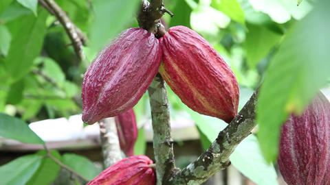 cocoa plant rack focus Footage