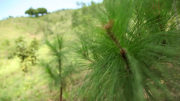 Young Pine Needles stock footage
