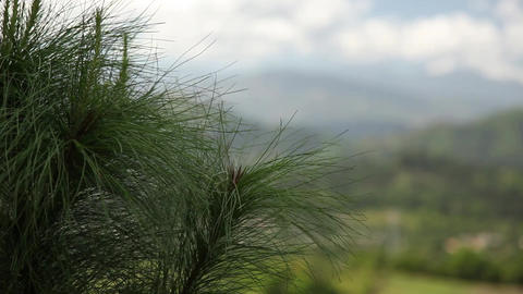 Valley Rack Focus To Pine Needles stock footage