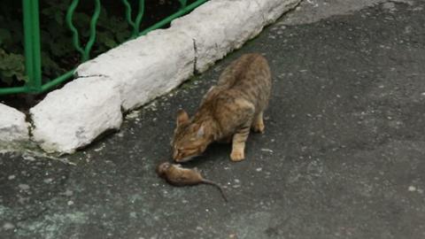The cat sniffs dead rat Footage